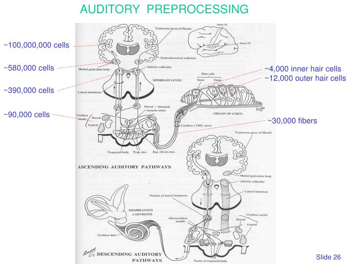 AUDITORY  PREPROCESSING