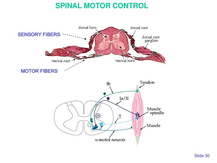 SPINAL MOTOR CONTROL