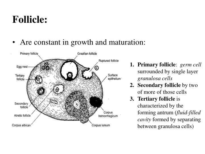 Follicle:
