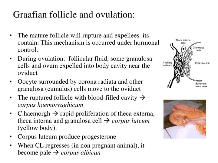 Graafian follicle and ovulation: