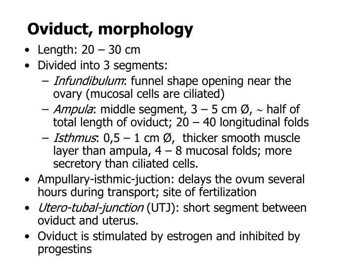 Oviduct, morphology