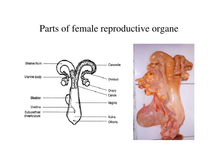 Parts of female reproductive organe