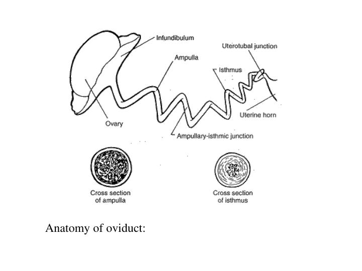 Anatomy of oviduct: