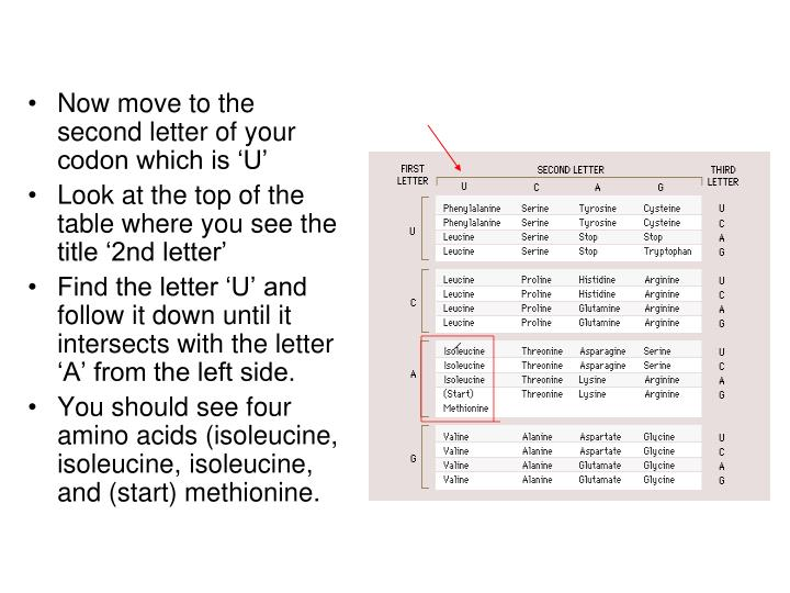 Now move to the second letter of your codon which is 'U'