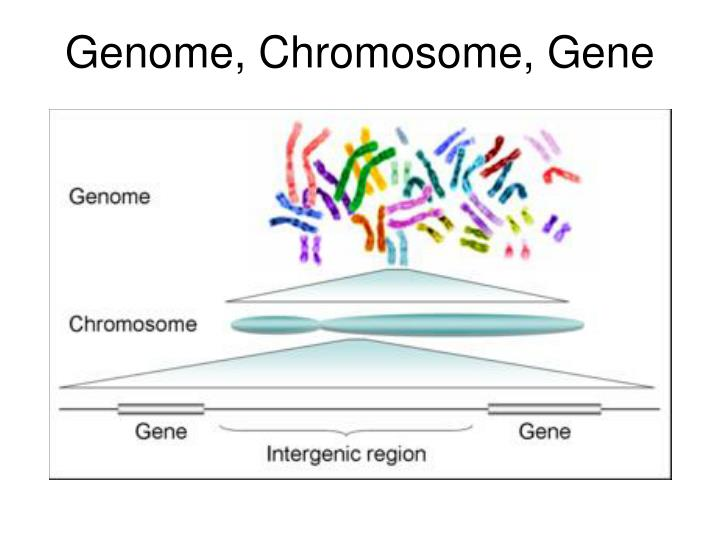 Genome, Chromosome, Gene