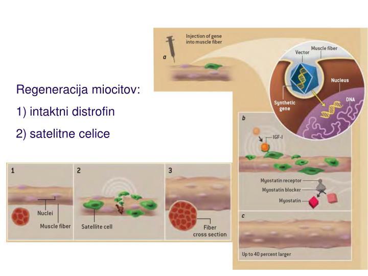 Regeneracija miocitov: