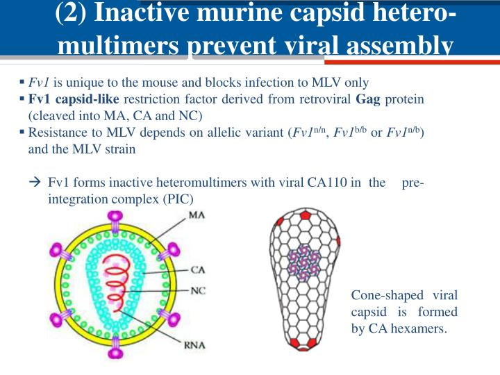 (2) Inactive murine capsid hetero-multimers prevent viral assembly