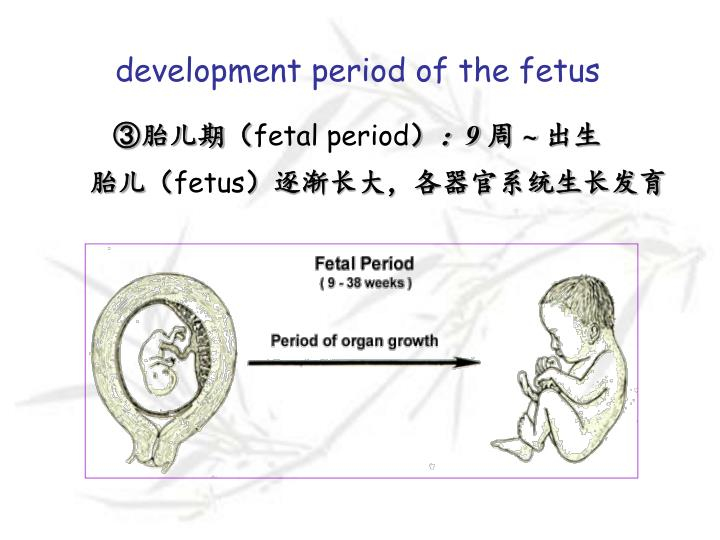 development period of the fetus