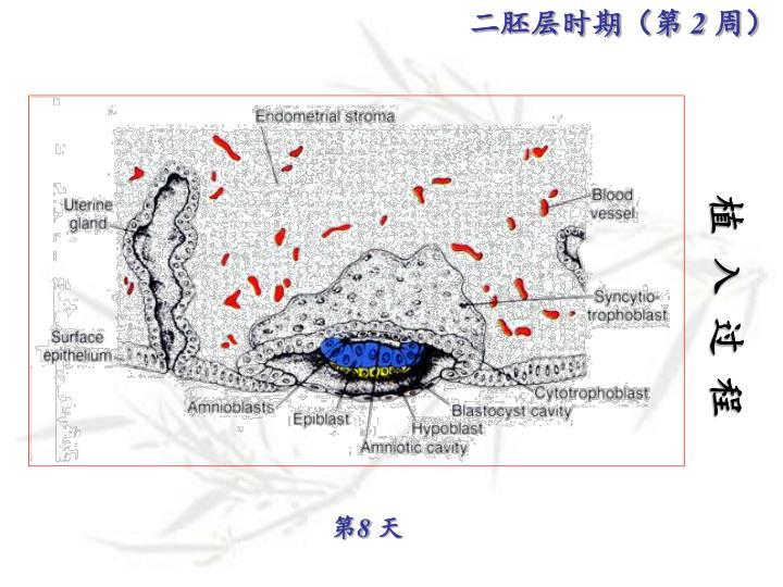 二胚层时期(第