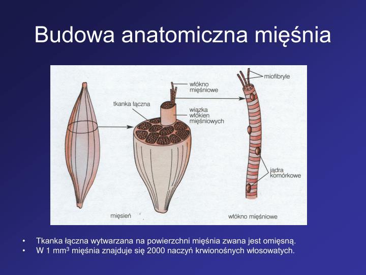 Budowa anatomiczna minia