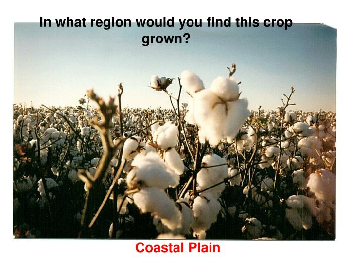 In what region would you find this crop grown?