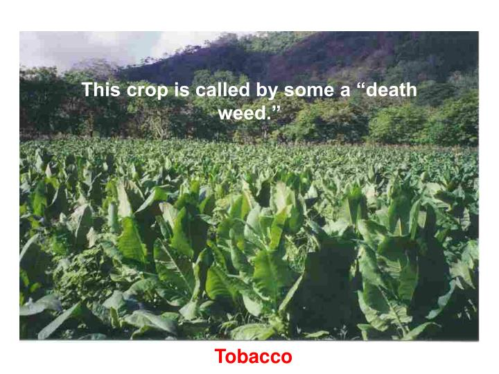 "This crop is called by some a ""death weed."""