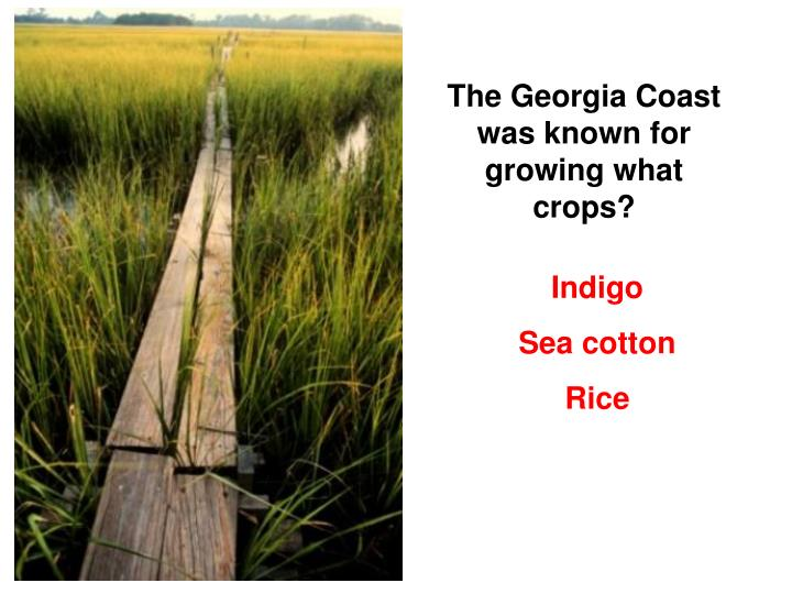 The Georgia Coast was known for growing what crops?