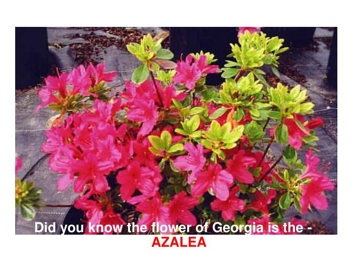 Did you know the flower of Georgia is the -