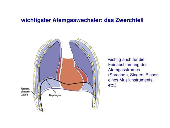 wichtigster Atemgaswechsler: das Zwerchfell