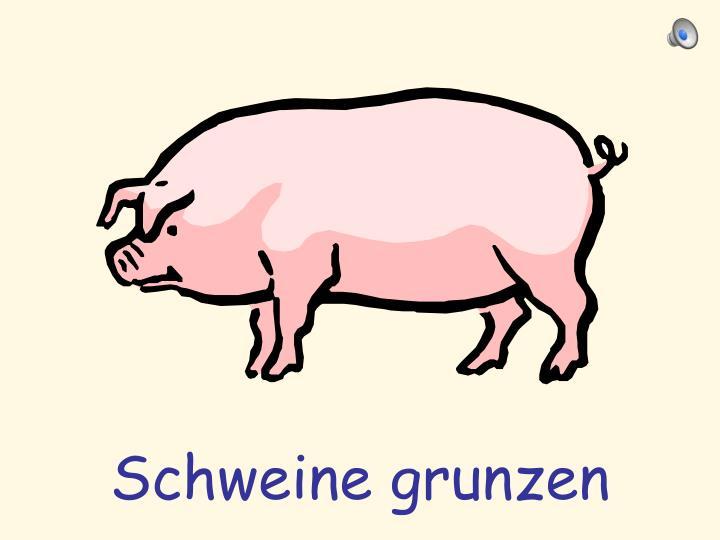 Schweine grunzen