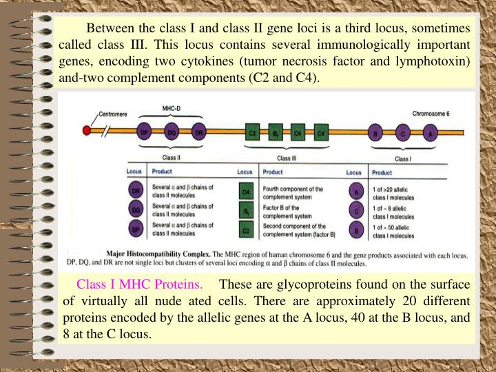 Between the class I and class II gene loci is a third locus, sometimes called class III. This locus contains several immunologically important genes, encoding two cytokines (tumor necrosis factor and lymphotoxin) and-two complement components (C2 and C4).