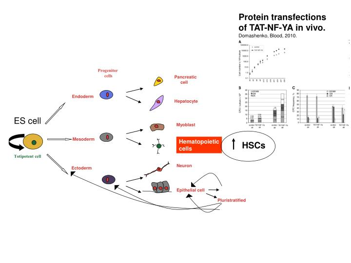 Protein transfections