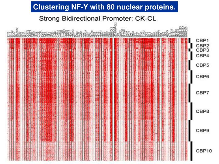 Clustering NF-Y with 80 nuclear proteins.