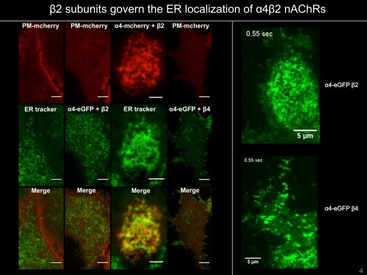 β2 subunits govern the ER localization of α4β2 nAChRs