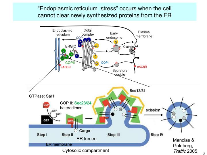 """Endoplasmic reticulum  stress"" occurs when the cell"