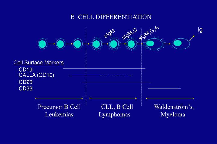 Precursor B Cell Leukemias