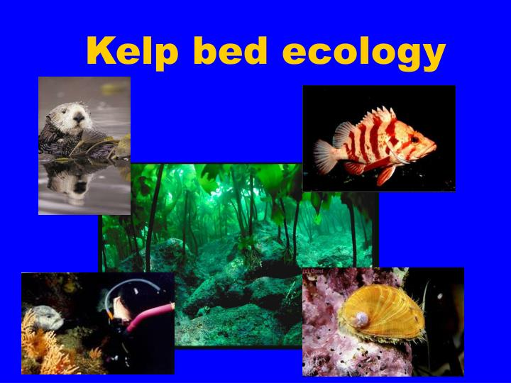 Kelp bed ecology