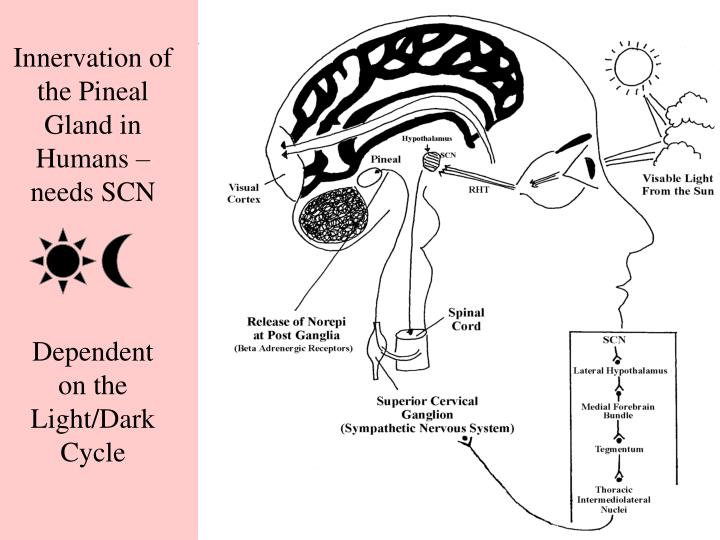 Innervation of the Pineal Gland in Humans –needs SCN