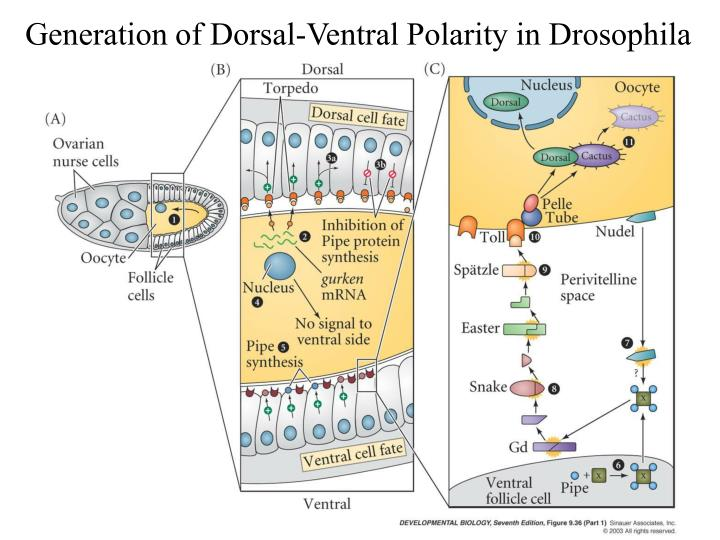 Generation of Dorsal-Ventral Polarity in Drosophila