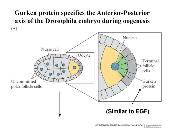 Gurken protein specifies the Anterior-Posterior axis of the Drosophila embryo during oogenesis