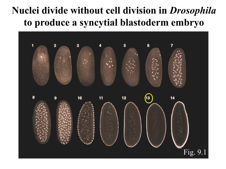 Nuclei divide without cell division in