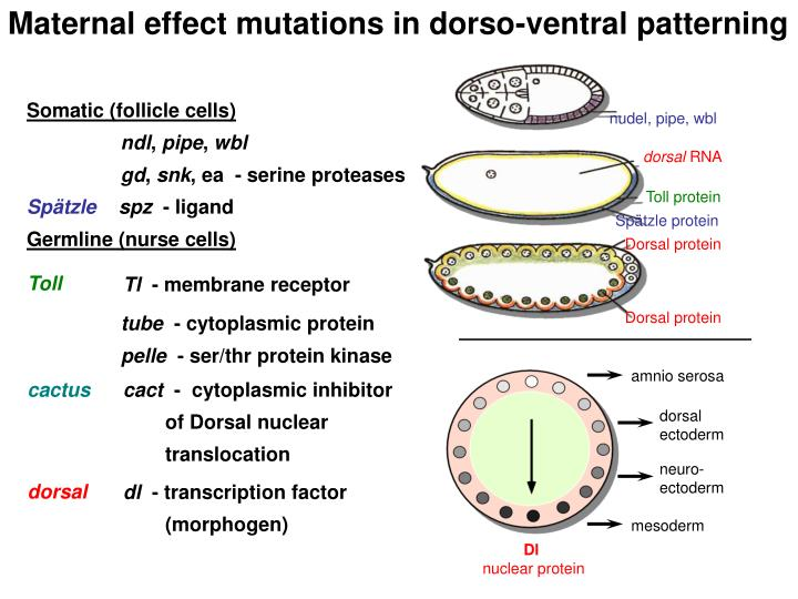 Maternal effect mutations in dorso-ventral patterning