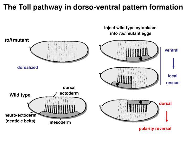 The Toll pathway in dorso-ventral pattern formation