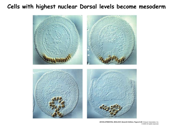 Cells with highest nuclear Dorsal levels become mesoderm