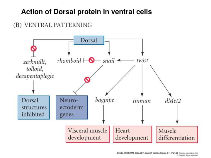 Action of Dorsal protein in ventral cells