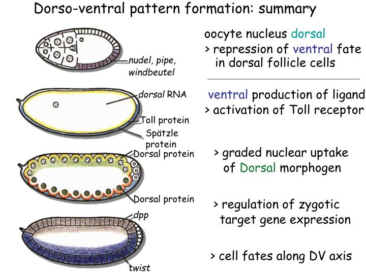 Dorso-ventral pattern formation: summary