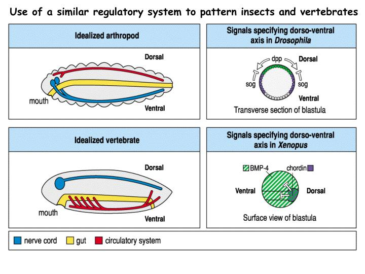 Use of a similar regulatory system to pattern insects and vertebrates