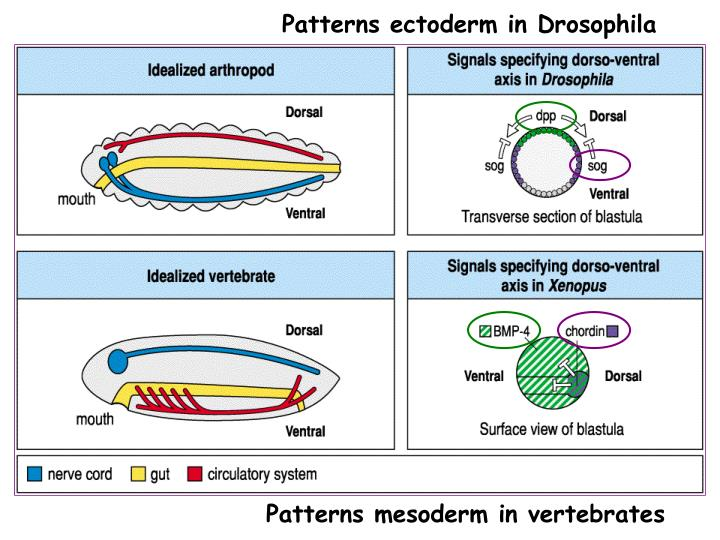 Patterns ectoderm in Drosophila