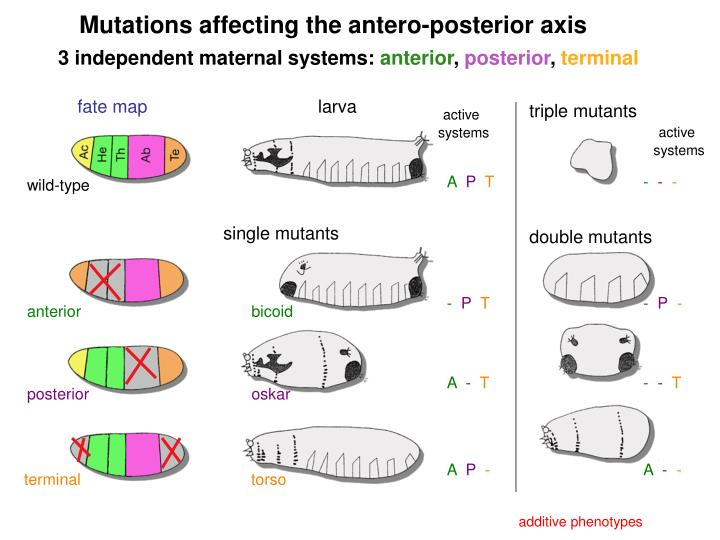 Mutations affecting the antero-posterior axis