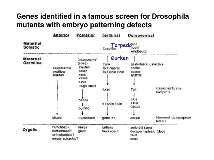 Genes identified in a famous screen for Drosophila mutants with embryo patterning defects