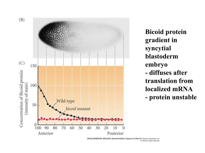 Bicoid protein gradient in syncytial blastoderm embryo