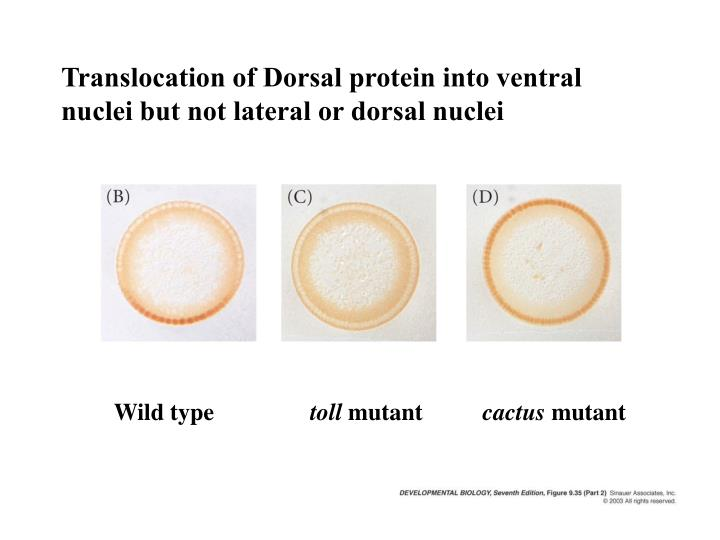 Translocation of Dorsal protein into ventral nuclei but not lateral or dorsal nuclei