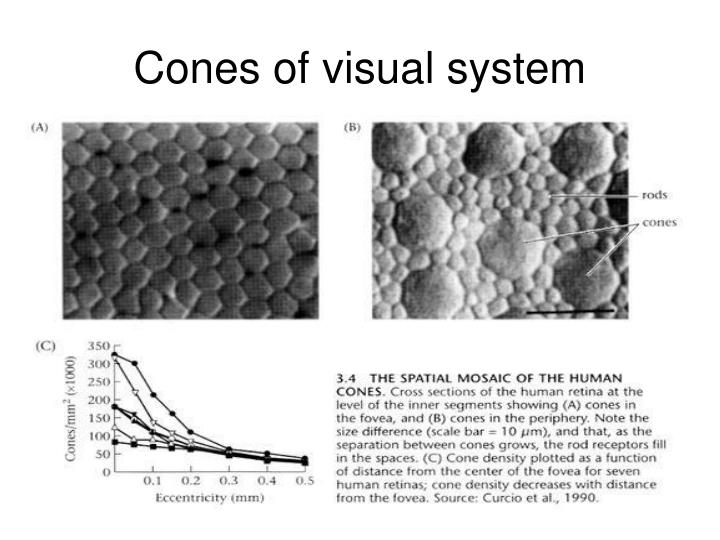 Cones of visual system