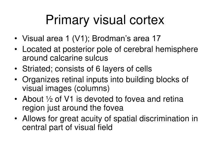 Primary visual cortex
