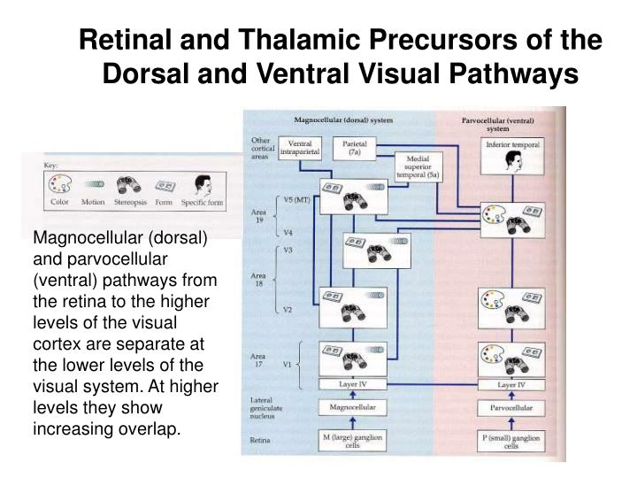 Retinal and Thalamic Precursors of the Dorsal and Ventral Visual Pathways