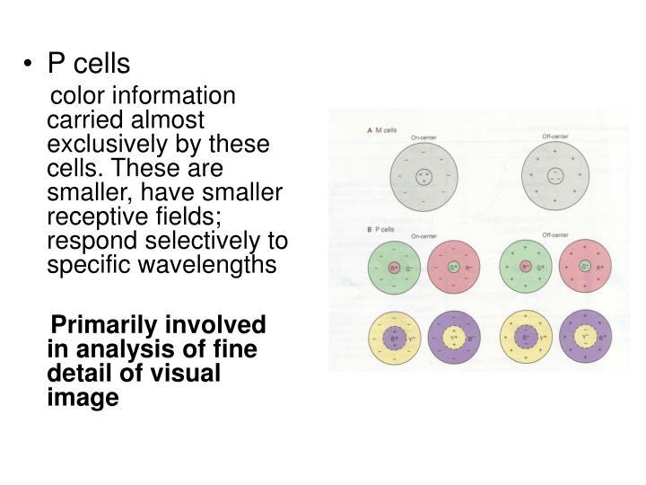 P cells