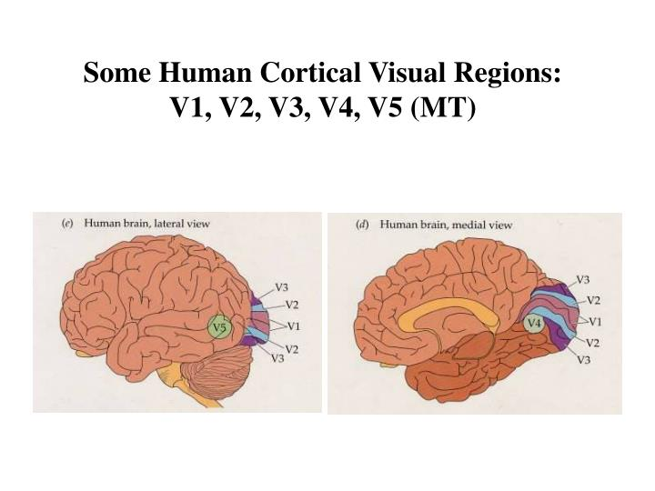 Some Human Cortical Visual Regions: