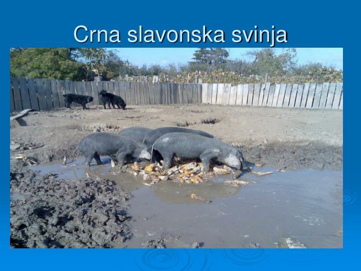 Crna slavonska svinja