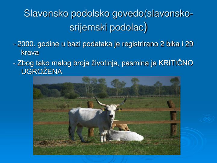 Slavonsko podolsko govedo(slavonsko-srijemski podolac