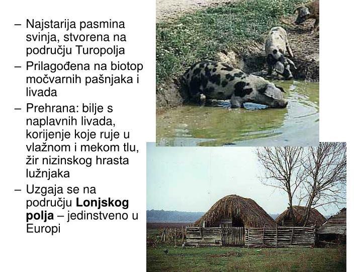 Najstarija pasmina svinja, stvorena na području Turopolja